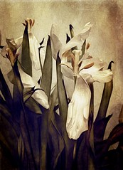 .graceful Decay. (allyson.marie) Tags: nature petal old droop dying white winter texture tulip flower