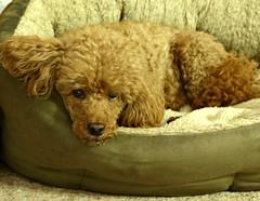 Milo (Donna JW) Tags: picmonkey miniaturepoodle poodle dog pet redpoodle