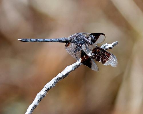 Band-winged Dragonlet (Erythrodiplax umbrata)
