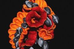 Archidendron vaillantii (andreas lambrianides) Tags: archidendronvaillantii mimosaceae albiziavaillantii redbean salmonbean australianflora australiannativeplants australianrainforests australianrainforestplants arfp qrfp welldevelopedrainforests arffs redarffs