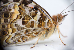 Butterfly (LSydney) Tags: macromondays redux2016 butterfly insect macro