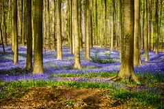 Hallerbos (Michel van Kooten) Tags: forest foret bos woods hallerbos belgium belgie belgique tree trees flower bluebells boshyacinten purple blue