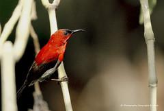 With a tinge of red (JX76) Tags: crimson crimsonsunbird sunbird male bird birdportrait singapore botanicgardens nature bokeh red tingeofred outdoor wildlife