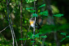 Orange chest (Rico the noob) Tags: dof 300mm finland d500 birds outdoor 2016 animal leaves tree travel 300mmf4pf published animals closeup bokeh nature bird