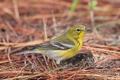 Pine Warbler (stephaniepluscht) Tags: alabama 2017 fort morgan state historic site pine warbler