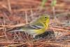 Pine Warbler (stephaniepluscht) Tags: alabama 2017 fort morgan state historic site pine warbler