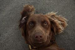 Şöyle bi sırt üstü...ooohh  : ) (halukderinöz) Tags: dog köpek cute sevimli kahverengi brown kum sand hayvan animal pet akçakoca türkiye