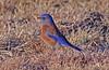 Western Bluebird (m) (1krispy1) Tags: thrushes bluebirds westernbluebird texasbirds