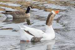 Swan Goose with a Canadian Goose