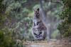 Bennetts Wallaby Trail (robertdownie) Tags: path rocks kangaroo hop wallaby hopping tasmanian wilderness world heritage area rednecked australia tasmania macropus rufogriseus mount field national park bennetts winter coat fur