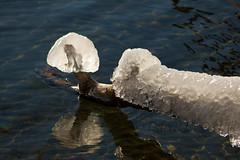 Winter, Lakeside 4 (LongInt57) Tags: ice tree branch water lake frozen freezing cold winter sunshine white clear transparent translucent brown blue nature kelowna bc canada okanagan reflection reflecting phallus