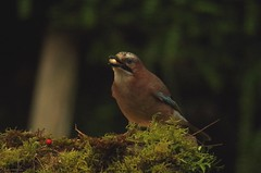 Jay low light  photos (Simon Dell Photography) Tags: jay bird garden uk sheffield england large brown blue patch wing nature wildife low light high iso