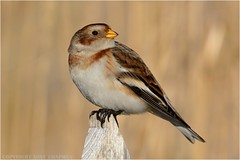 "Snow bunting ( Plectrophenax nivalis ) (DaveChapman ""If it flies,I shoot it"") Tags: plectrophenaxnivalis snowbunting snow bunting bird migrant beach post fence perched sat sitting wildlife birds uk"