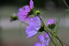 Memory of summer (eowina) Tags: flowers summer nature cosmos