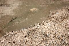 "Camouflaged Gecko (Aruba) (runintherain) Tags: runintherain canon450dxsi canon canonxsi caribbean lesserantilles nature outdoor animals reptiles aruba ""netherlands"" abcislands dutchcaribbean lizards"