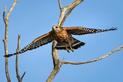 Spread your wings - Explored (alicecahill) Tags: california usa wild wildlife ©alicecahill sanluisobispocounty wings bird flying hawk marinaspit morrobay raptor redshoulderedhawk animal
