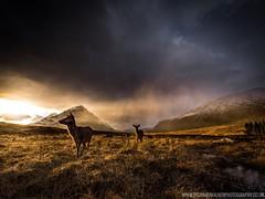 Highland Deer (Richard Walker Photography) Tags: scotland deer sunset highlands glencoe landscape wildlife nature
