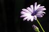 Stunning African daisy (VillaRhapsody) Tags: flower one bud background black summer purple garden africandaisy daisy challengeyouwinner cy2