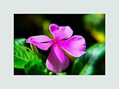IMG_20150606_174337 (Mauro A. Silva) Tags: flowers plants macro closeup fuji fujifilm macrofotografia plantsandflowers plantasflores plantaseflores fujix fujinonlens 1650mm xtrans fujifilmx xtranssensor fujixm1 fujifilmxm1 xc1650 fujinonxc1650mmf3556ois xc1650mmf3556 xclens lentefujinon