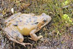 Common Frog - Rana temporaria (Bjrn S...) Tags: frog rana frosch grenouille ranatemporaria grasfrosch commonfrog grenouillerousse europeancommonfrog europeancommonbrownfrog ranabermeja ranamontana ranaalpina europeangrassfrog