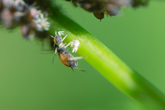 puceron.jpg (Sylvain Bdard) Tags: nature ant insects aphid fourmi puceron commensalism commensalisme
