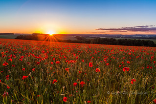 poppies, evening light