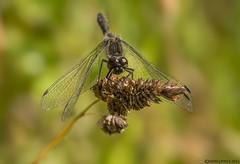 Male Black Darter (Crazybittern1) Tags: dragonflies blackdarter sigma70300mmmacro nikond7100