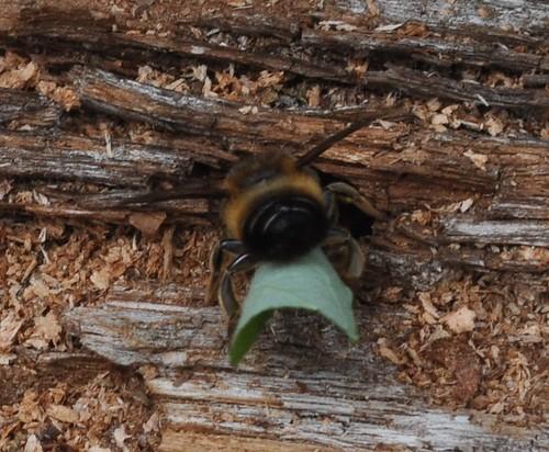 Leaf-cutter Bee Butt!