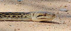 Amethystine (Scrub) Python (Andy Burton Oz) Tags