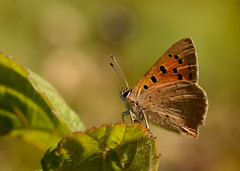 Small Copper (Severnrover) Tags: butterfly insect small butterflies lepidoptera copper