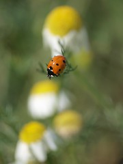 Prendre de la hauteur **---+°-°° (Titole) Tags: coccinelle ladybug ladybird camomille titole nicolefaton camomile insect thechallengefactory friendlychallenges rockon gamex2 challengeyouwinner