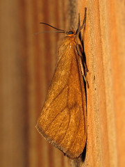 Tawny Virbia Moth (Ash Bradford) Tags: rgspbioblitz md maryland sx30 raynox dcr250 flash bug bugs animal animals animalia arthropod arthropods arthropoda hexapod hexapods hexapoda insect insects insecta lepidoptera moth moths img4098 img4100 brownmoth tanmoth orangemoth virbia virbiaopella inaturalist
