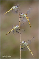 Sympetrum fonscolombii - Quartet (alfvet) Tags: macro dragonflies ngc npc libellule insetti veterinarifotografi