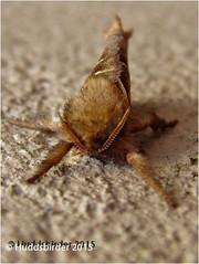 Orange Swift Moth (Huddsbirder) Tags: orange work moth olympus swift huddsbirder sz31mr