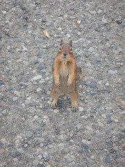 Attack Squirrel (thievingjoker) Tags: trip canada squirrel bc britishcolumbia attack kootenay manningpark 2015 subalpine goldenmantledsquirrel