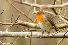 Robin in Elm (1000john) Tags: robin