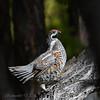 Hazelhen (Batmunkh89) Tags: hazelgrouse birdsofmongolia retouch bonasia