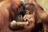 orangutan Lea Changi and baby Krefeld JN6A0996 (j.a.kok) Tags: orangutan orangoetan orang mensaap primaat primate lea changi krefeld aap ape monkey azie asia borneo