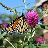 Wheaton, IL, Courthouse Square Apartments, Remembering Late Summer, Monarch Butterfly (Mary Warren (7.8+ Million Views)) Tags: wheatonil nature fauna insect butterfly monarchbutterfly flora plant blooms blossoms flowers pink