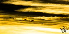 Vol de flamants (Thierry Poupon) Tags: bages coucher coucherdesoleil etangs or orange phalacrocoraxroseus phoenicopterusroseus soleil ciel contrejour flamantsroses soir languedoc france fr flamingo yellow sky cloud flying