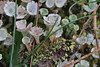 Ainsdale Lichen (Roy Lowry) Tags: ainsdale caldoniacoccifera