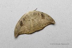 _B6A8754 (Hiro Takenouchi) Tags: papua insect indonesia moth moths lepidoptera nature arfak
