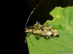 Longhorn Beetle, Cerambycidae (Ecuador Megadiverso) Tags: andreaskay ecuador beetle book cerambycidae coleoptera longhornbeetle