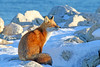 Sweet Sun (marylee.agnew) Tags: red fox winter sun canine nature snow cold wildlife