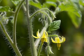 Egg plant (brinjal) flower