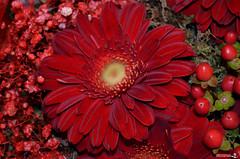 GerberaRed (VSoultanis Photography) Tags: flower gerbera red nikon nikond5100 nikontop nikonearth nikondslr