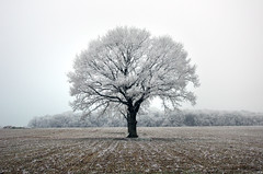 Frozen tree (Olivier Deschamps Ph) Tags: arbre gelé givré froid neige champ contraste noir blanc frozen tree ice field white black contrast hiver winter