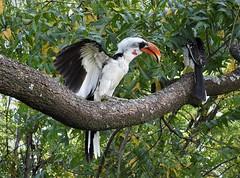 Jackson's Hornbill (Tockus jacksoni) (mat.breiten) Tags: jacksons hornbill tockus jacksoni baringo kenya bird