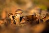 Golden Illusion (regisfiacre) Tags: champignon pils pilse mushroom macro bokeh 100mm canon bois woods forest forêt automne autumn france moselle nature