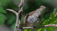 This brown thrasher is certainly giving me the stare. (knoxnc) Tags: wildbirds nature d7200 birds sunlight shadows tree limbs feathers sweetfreedom